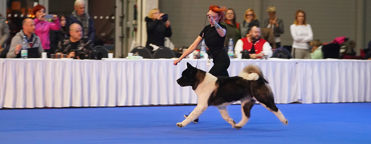 American Akita ALL FOR ALMIGHTY kennel